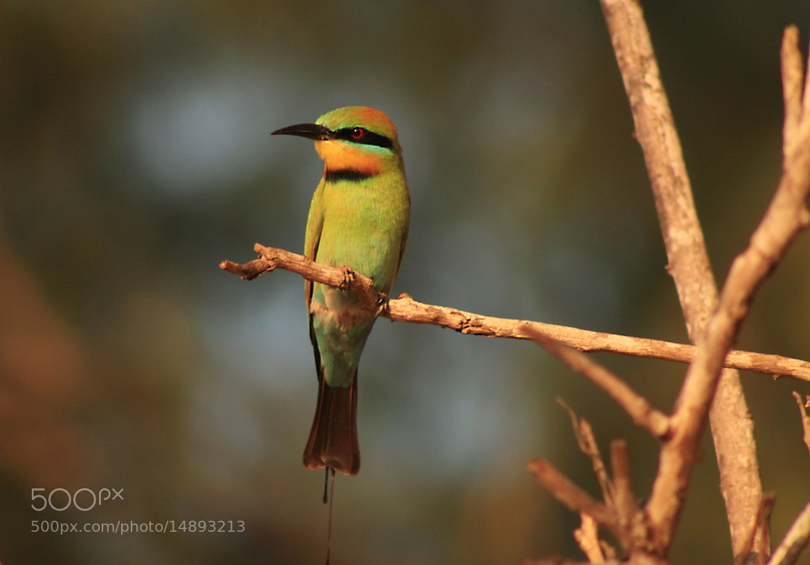Photograph Rainbow Bee-Eater by Ursula Rodgers on 500px