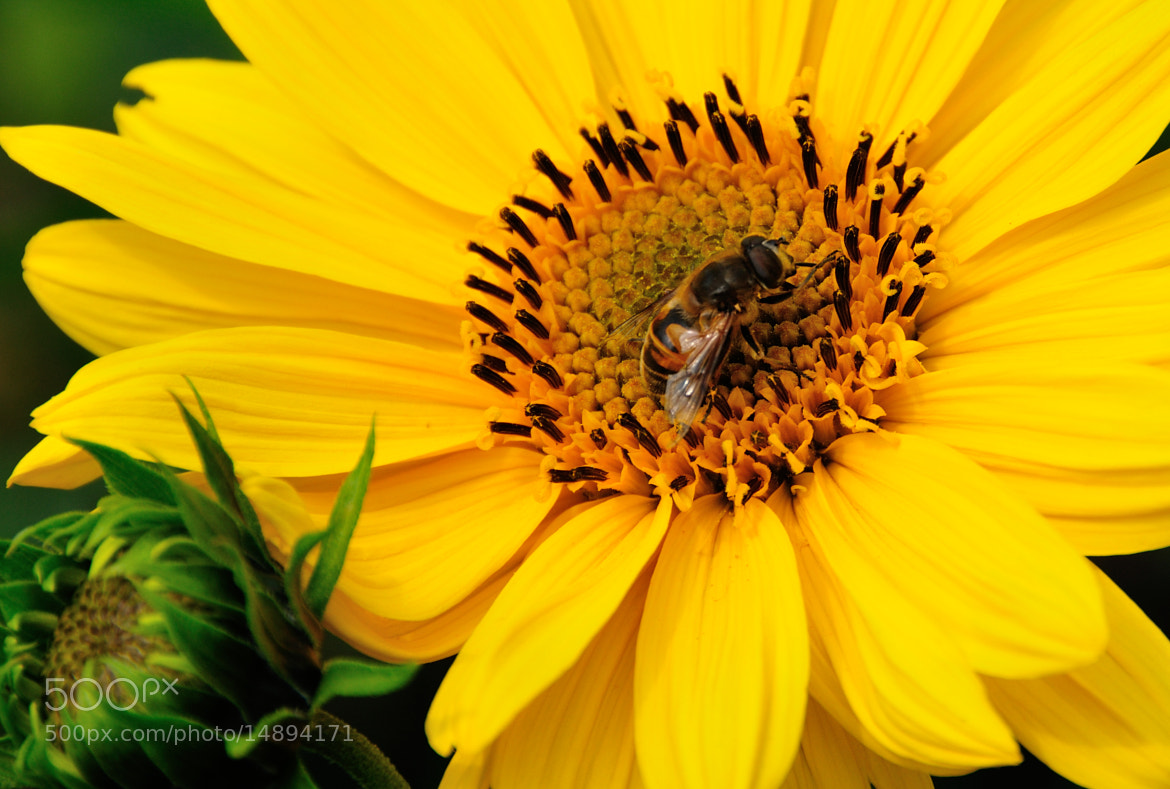 Photograph Hover Fly by Bill Brown on 500px