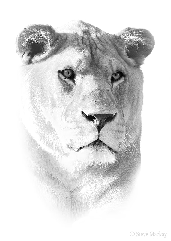 Photograph High-key Lioness by Steve Mackay on 500px