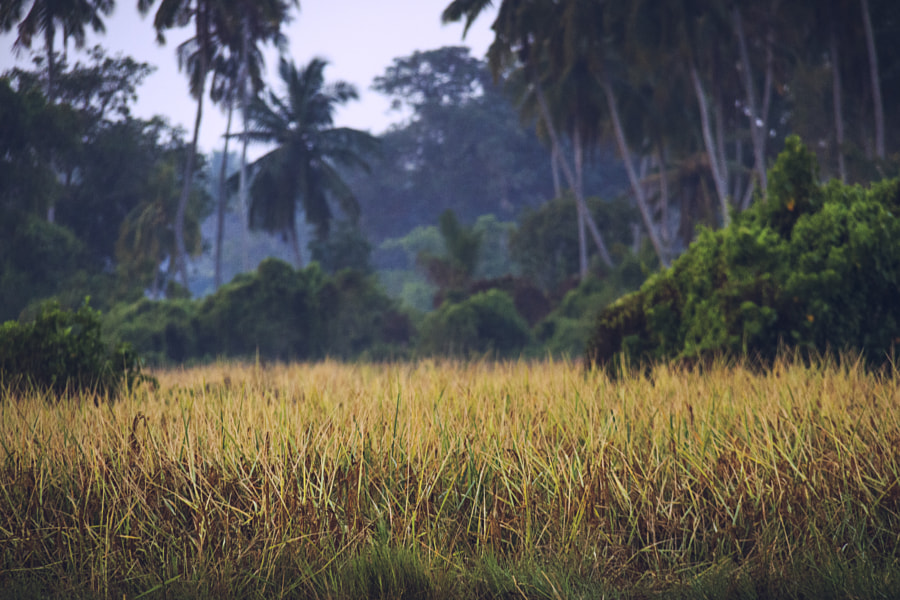 A Field of Maa Wee Rice, Chilaw, Sri Lanka by Son of the Morning Light on 500px.com