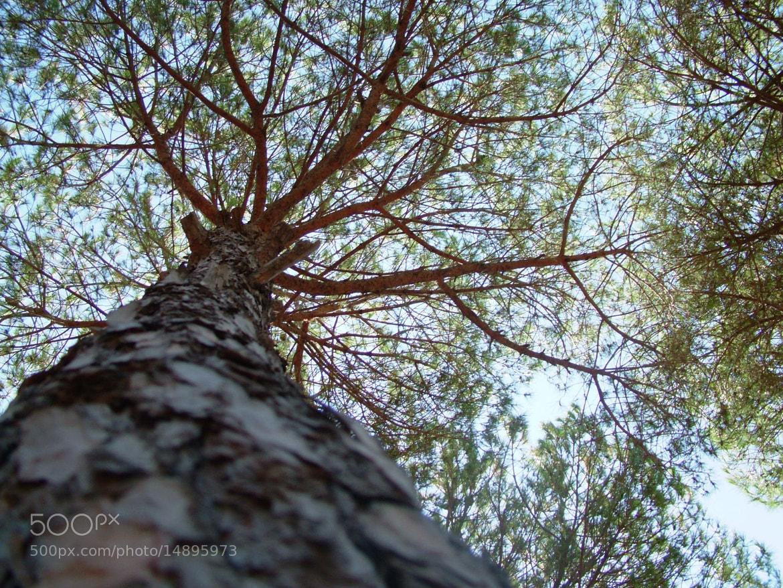 Photograph Pine Tree by Imad B.Diab on 500px