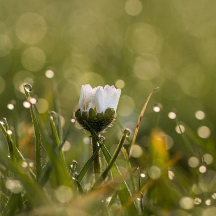 bokeh daisy