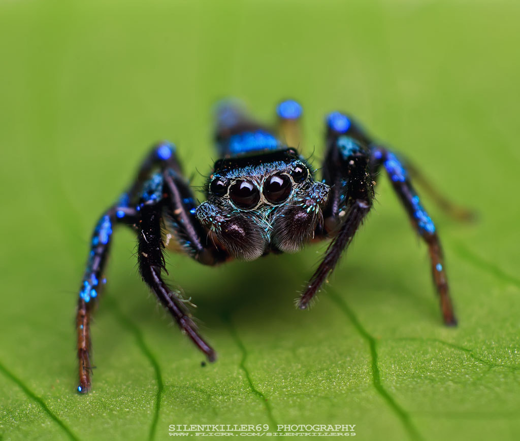 Photograph Metallic Blue Jumping Spider by muhamad  firdaus on 500px