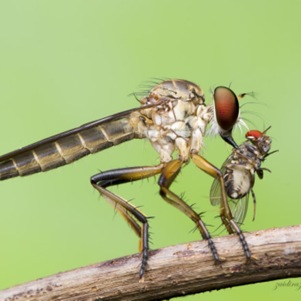 robberfly and prey