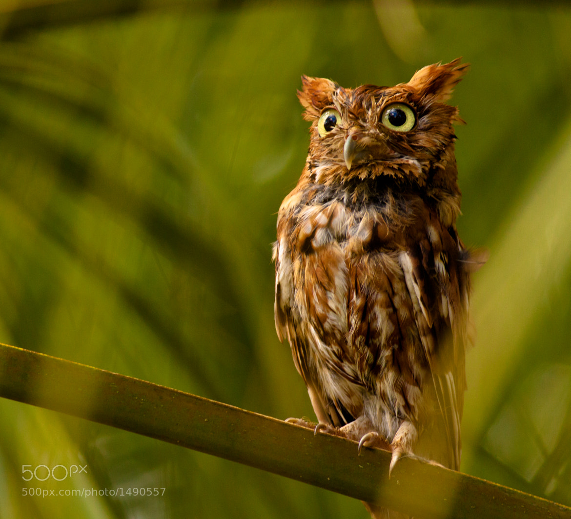 Photograph Eastern Screech Owl, Red Morph by Phillip Simmons on 500px