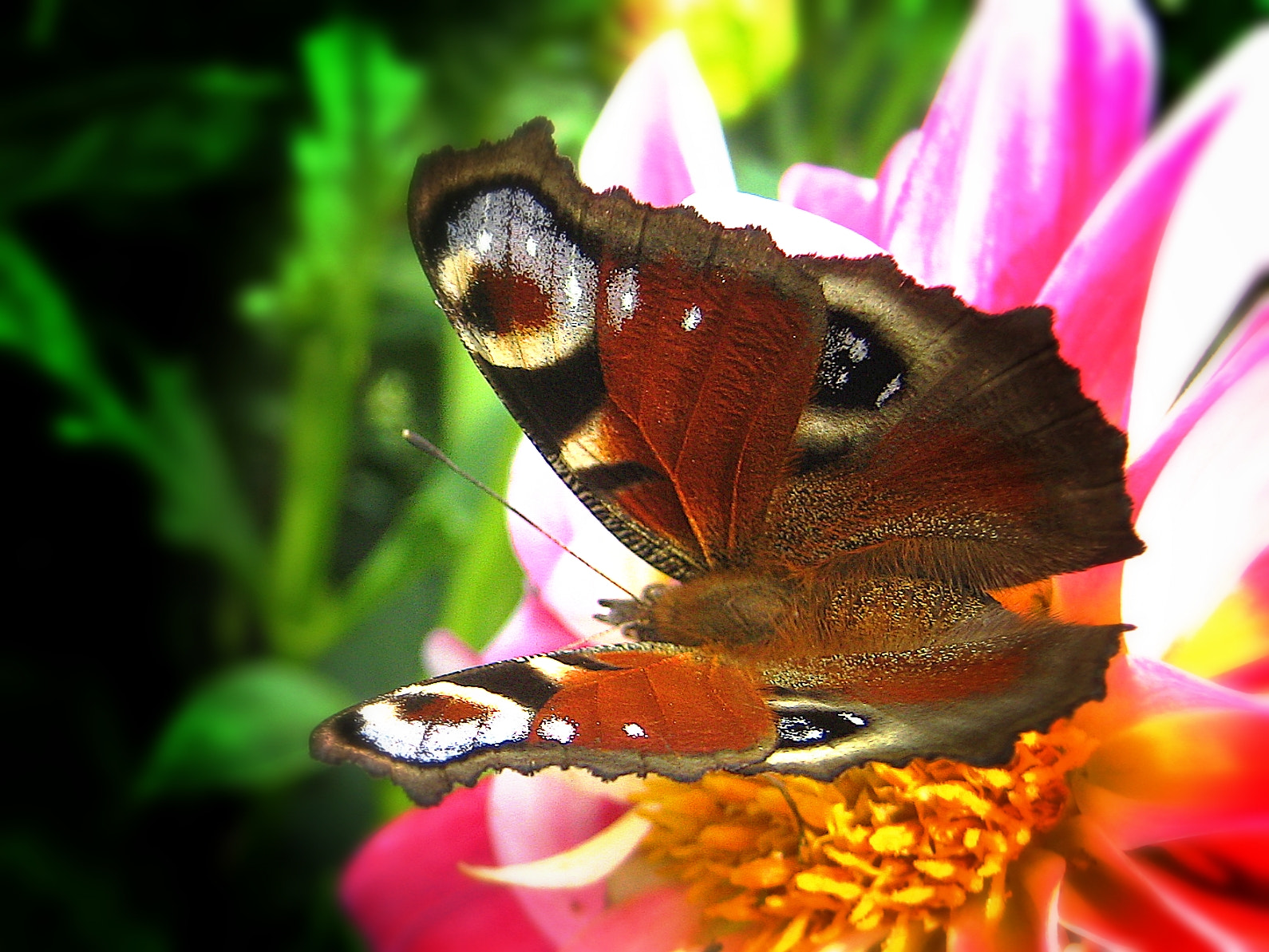 Photograph European Peacock butterfly (Inachis io). by Sandra Anohina on 500px