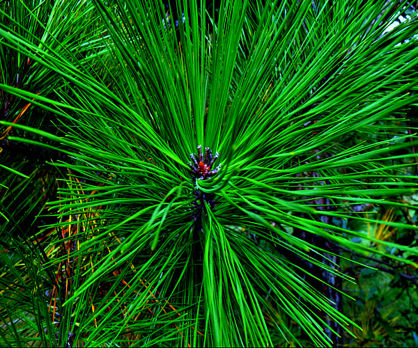 Photograph Pine Burst by April Colon on 500px