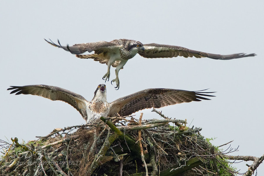Photograph Ospreys in the nest by Alessandro Terzi on 500px