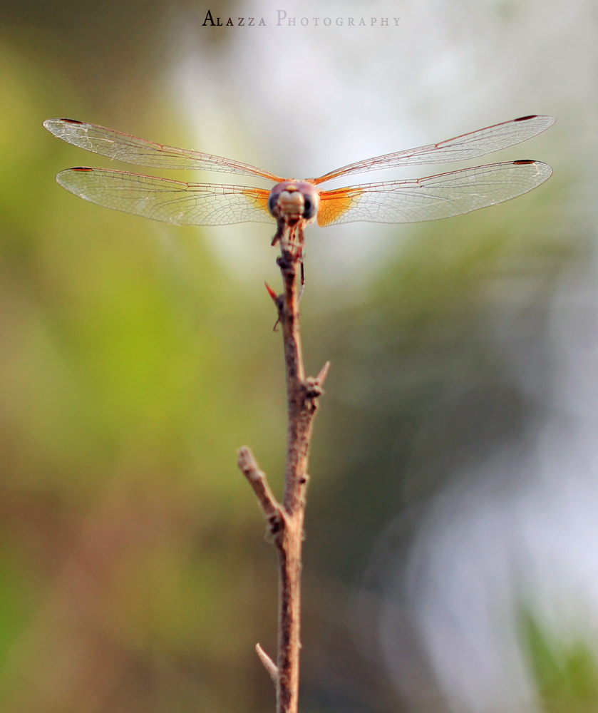 Photograph Dragonfly !!  by Alazza  Alhooti on 500px