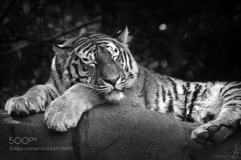 Photograph sleeping tiger b/w by y b on 500px