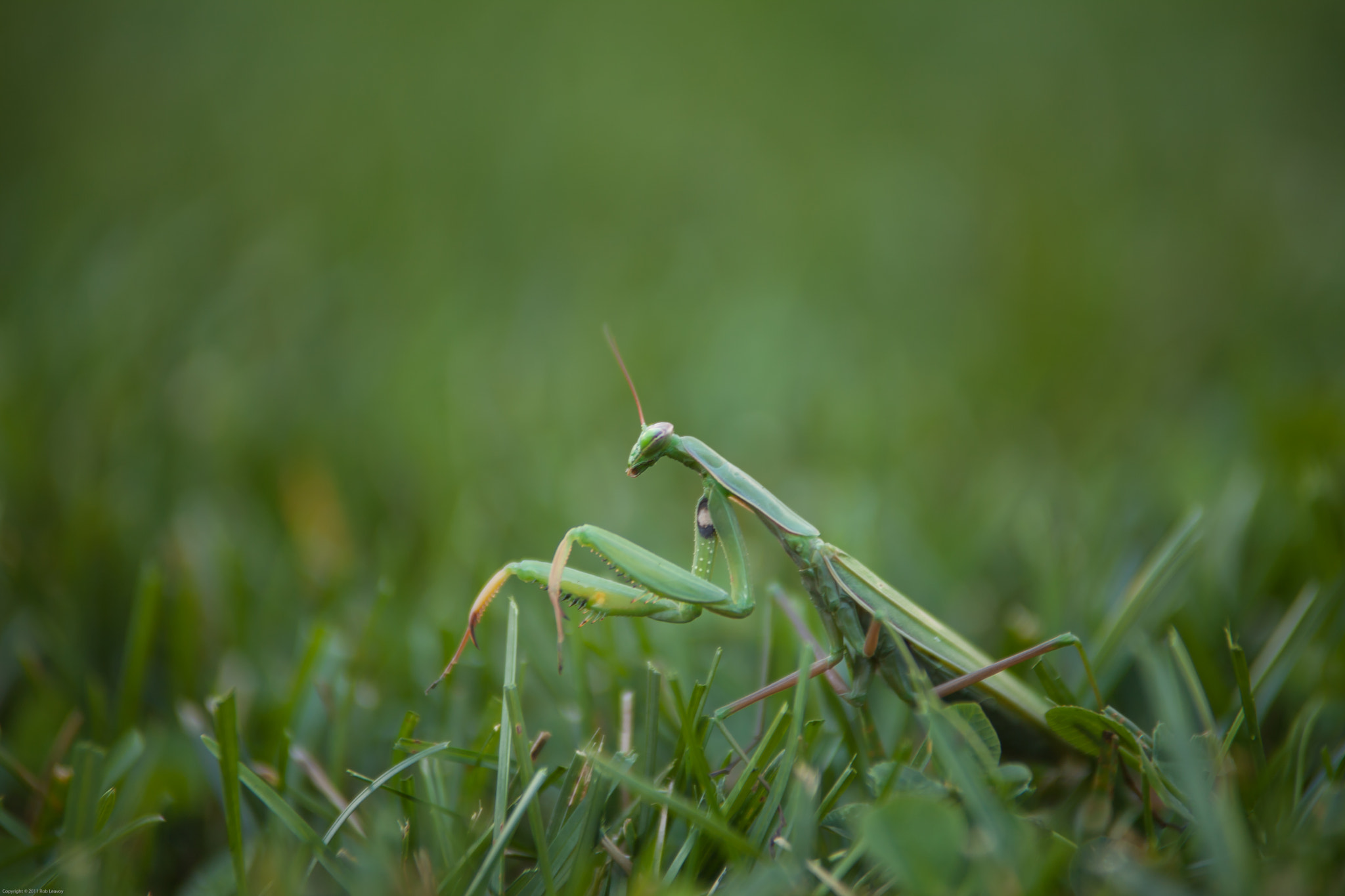 Photograph Praying Mantis by Rob Leavoy on 500px