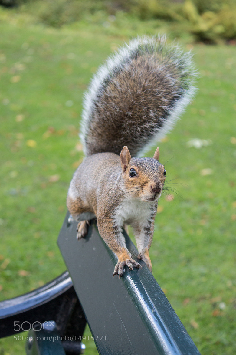 Photograph Squirrel 2 by Steve Hall on 500px