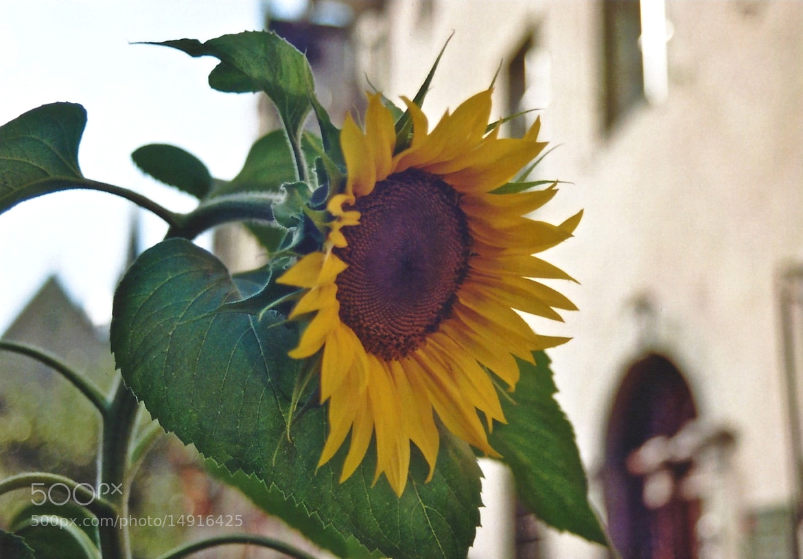 Photograph Sonnenblume by Marian Mahjoubi on 500px