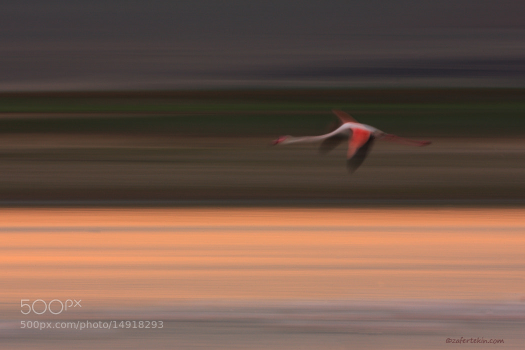 Photograph  Greater flamingo  by Zafer Tekin on 500px