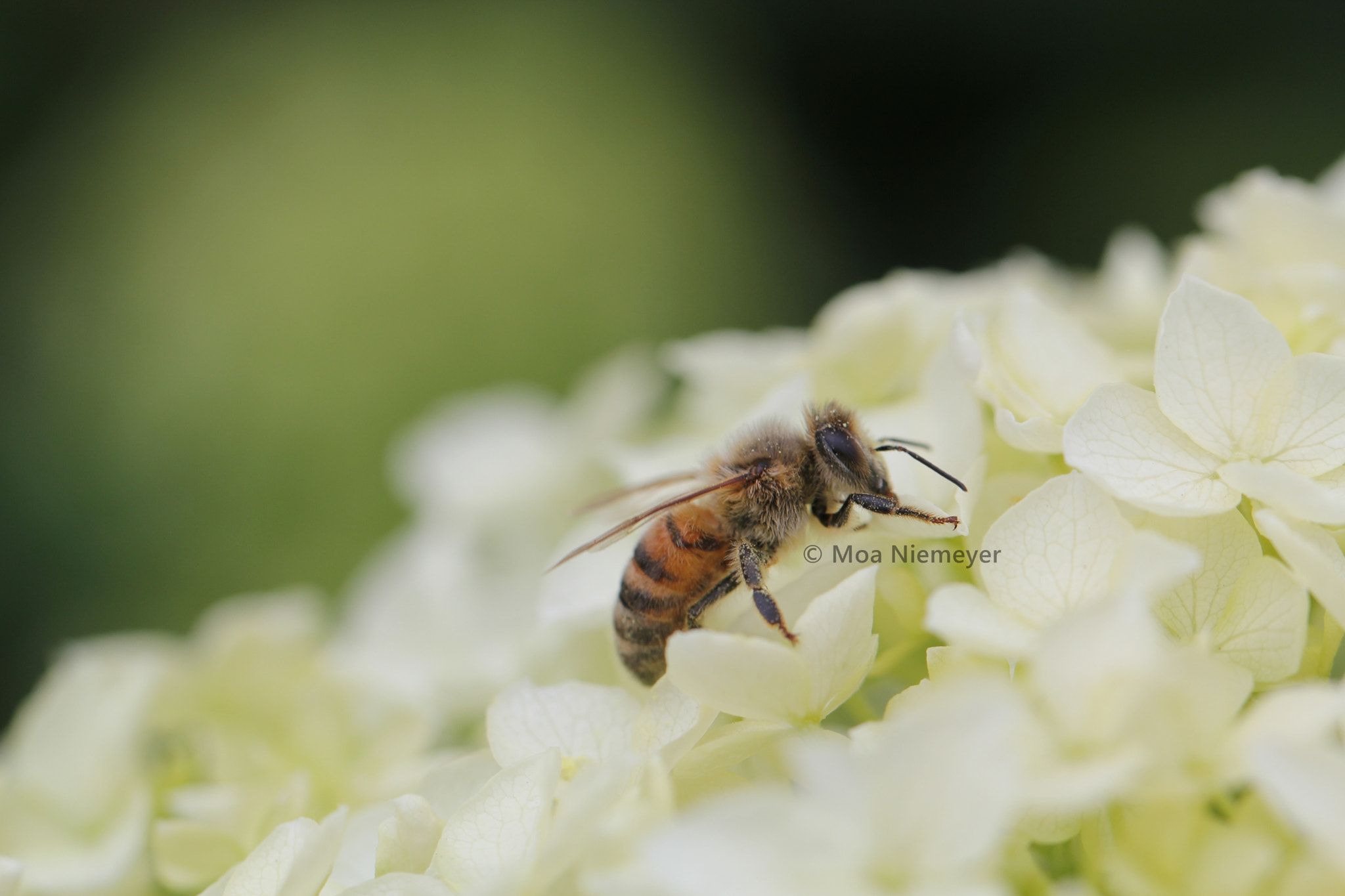 Photograph Bee by Moa Niemeyer on 500px