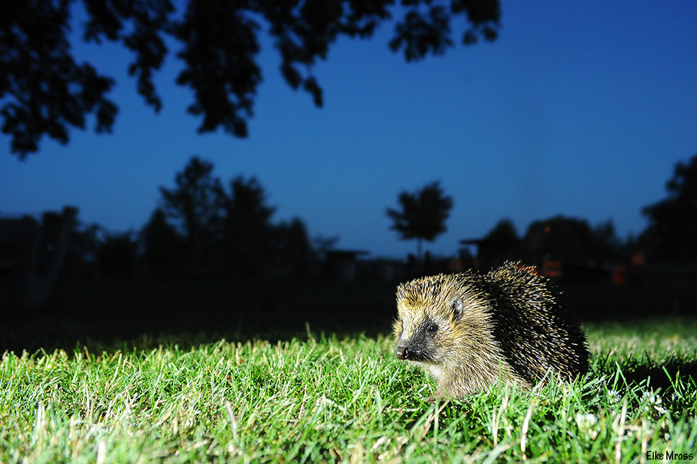 Photograph Hedgehog by Eike Mross on 500px