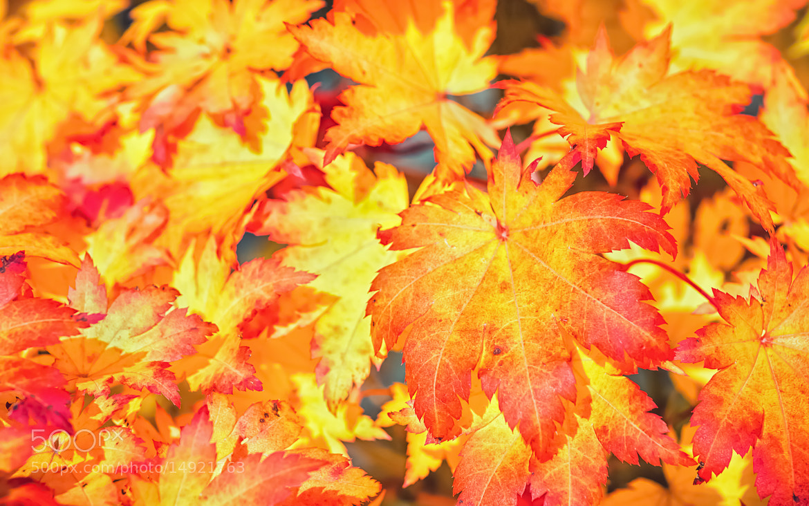 Photograph Fiery leaves by Tapio Kaisla on 500px