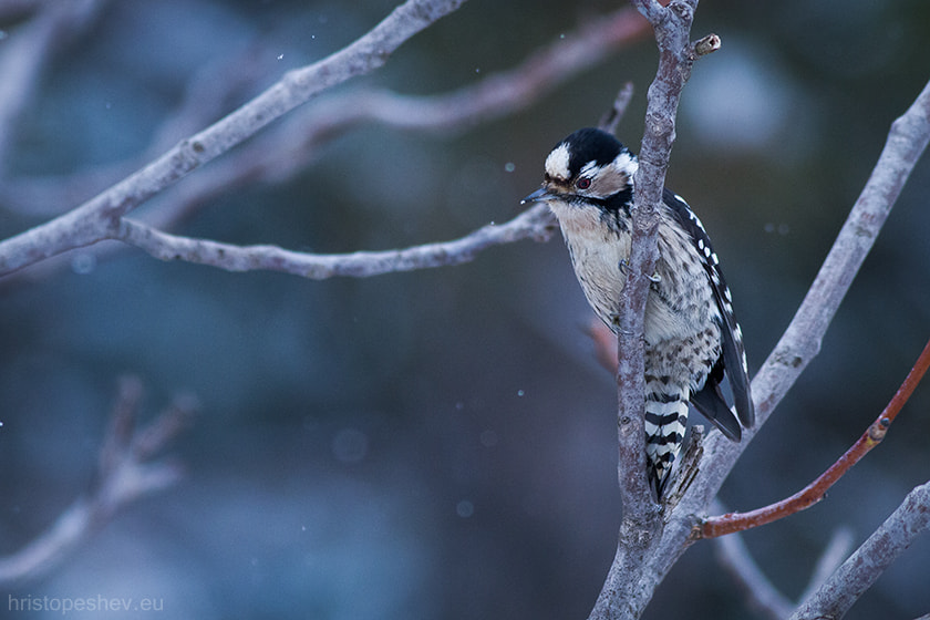 Photograph Lesser Spotted Woodpecker (Dendrocopos minor) by Hristo Peshev on 500px