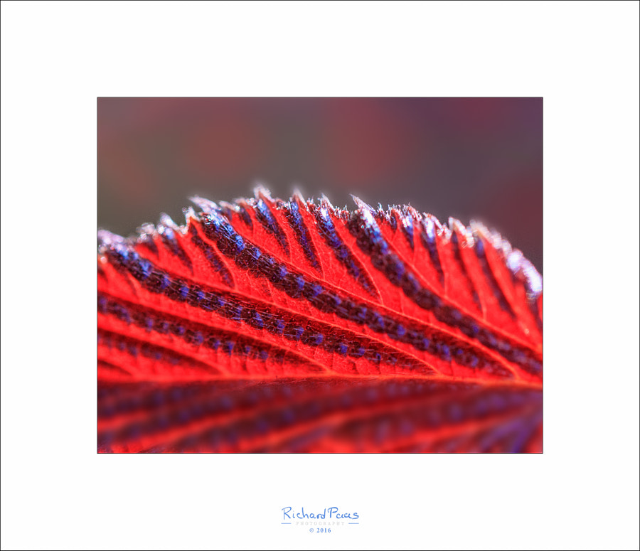 Red Leaf by Richard Paas on 500px.com