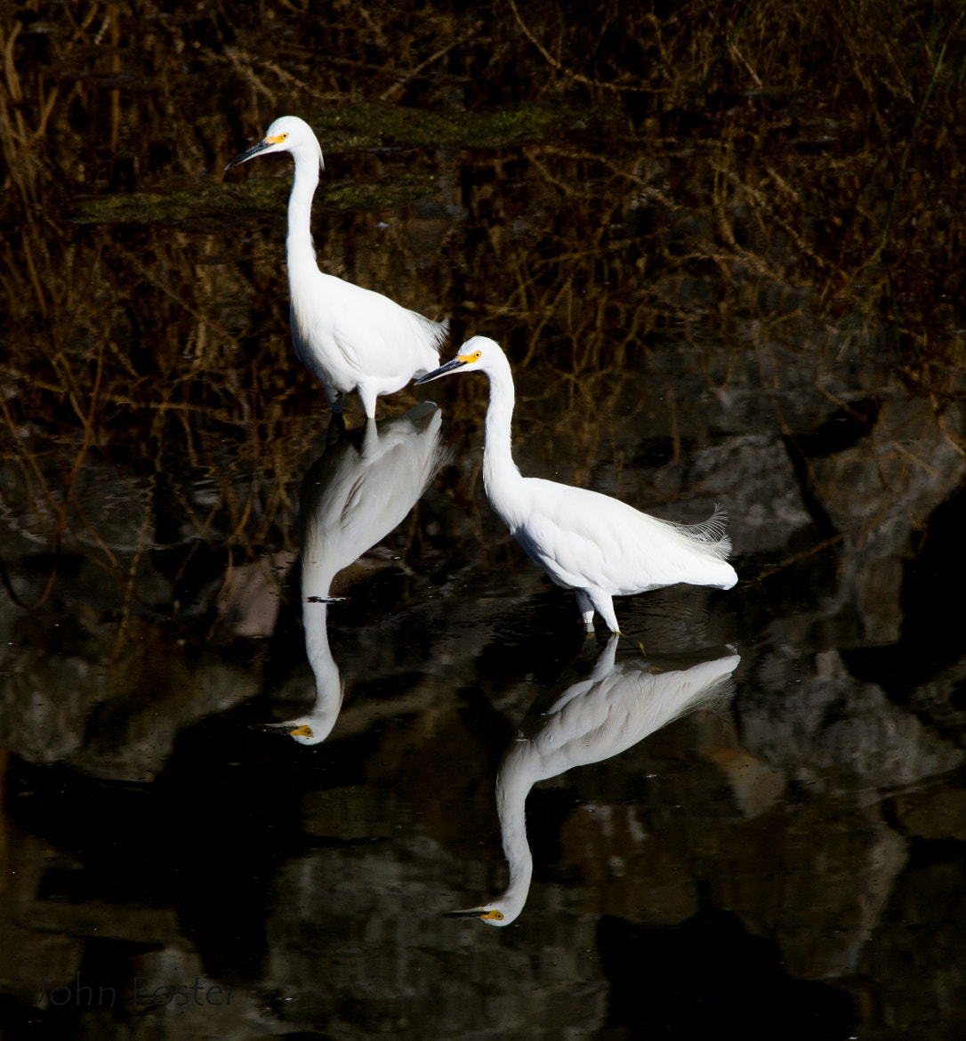 Photograph Egrets by John Foster on 500px
