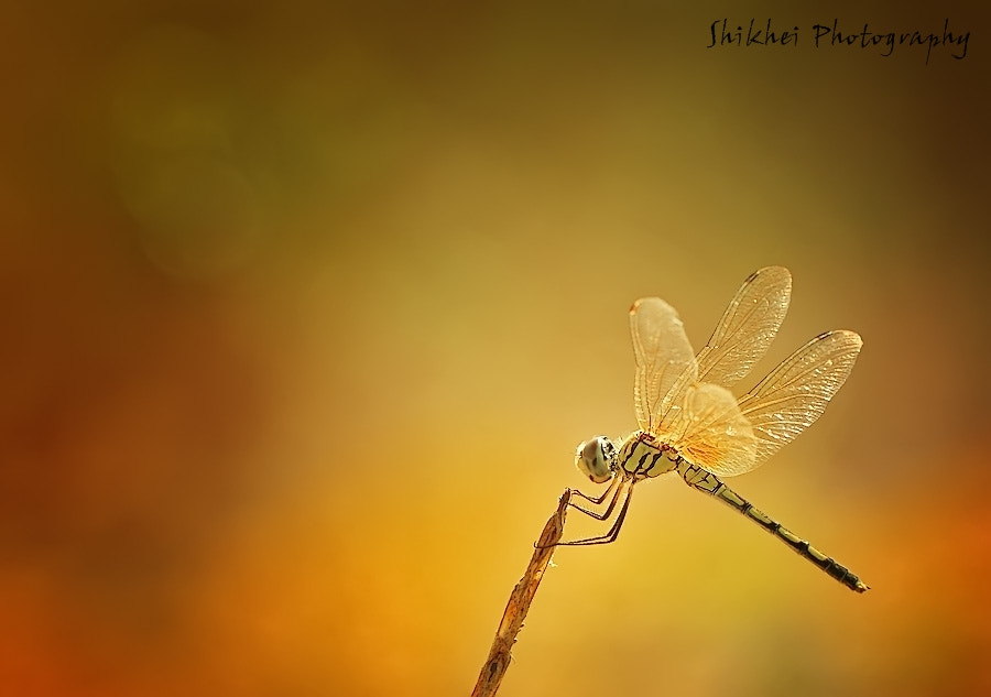 Photograph dragonfly by shikhei goh on 500px