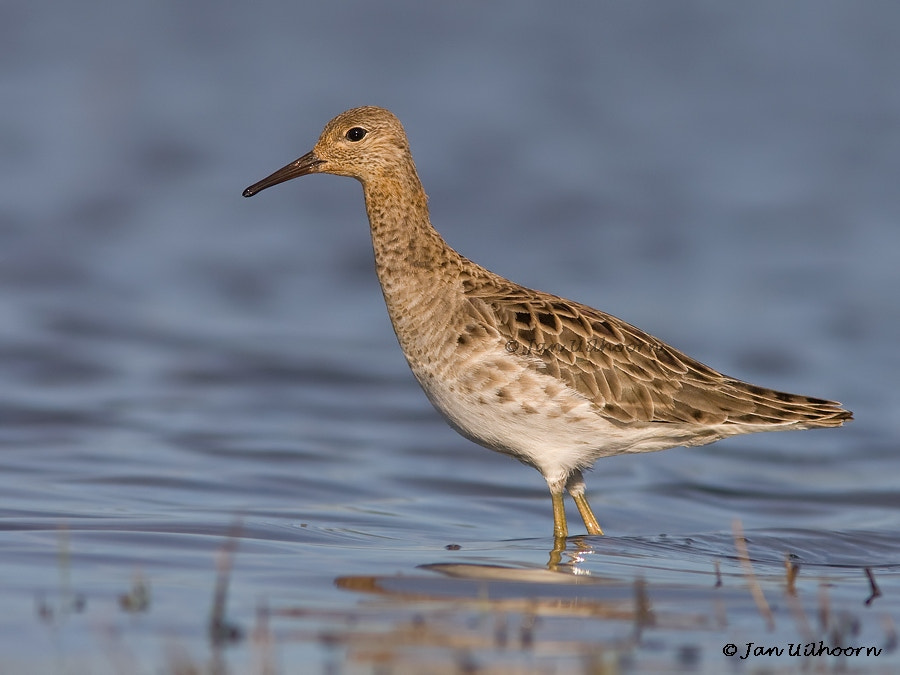Photograph Ruff by Jan Uilhoorn on 500px