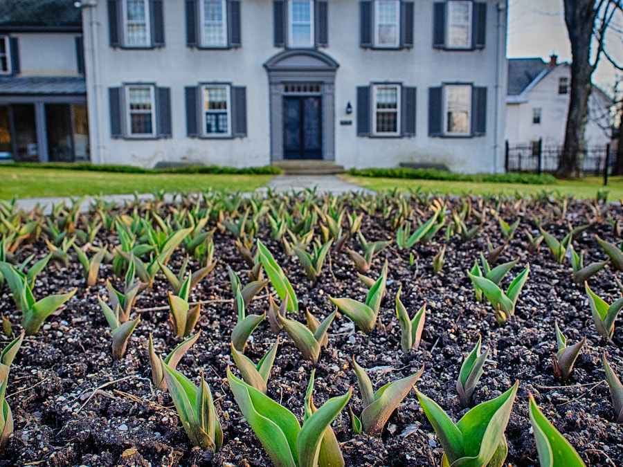 Emerging Tulips by John Poltrack on 500px.com