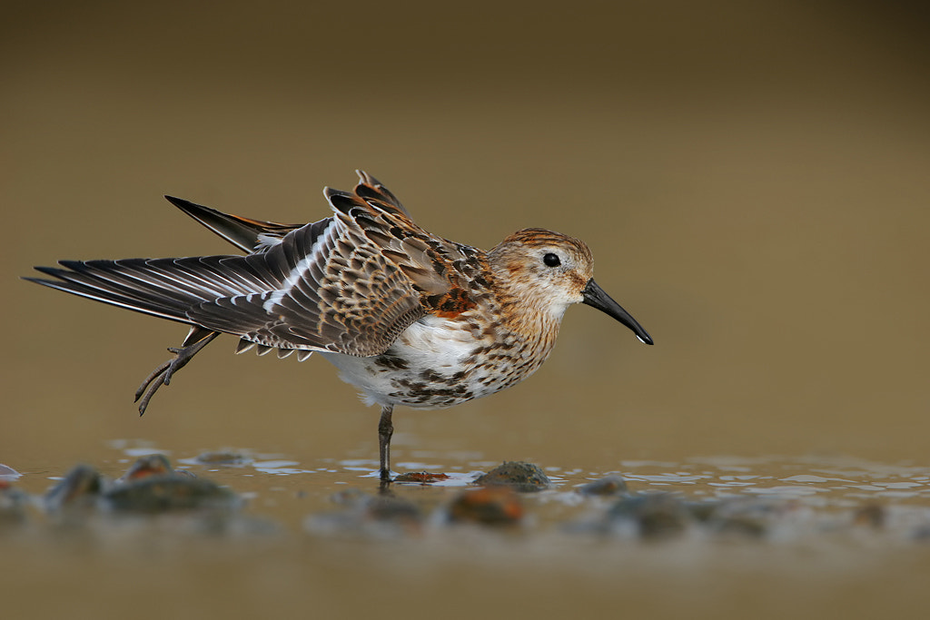 Photograph Dunlin by Nigel  Pye on 500px
