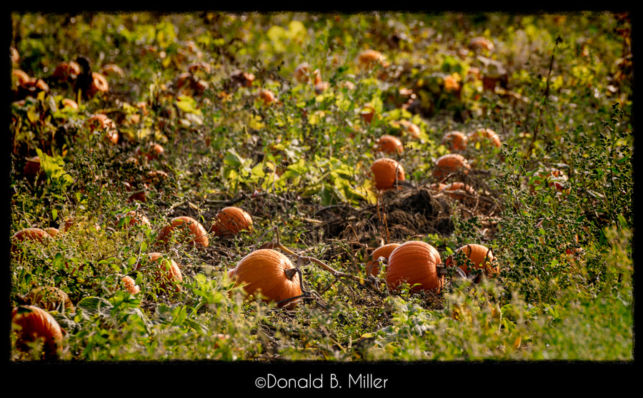 Photograph Pumpkin Patch by Donald Miller on 500px
