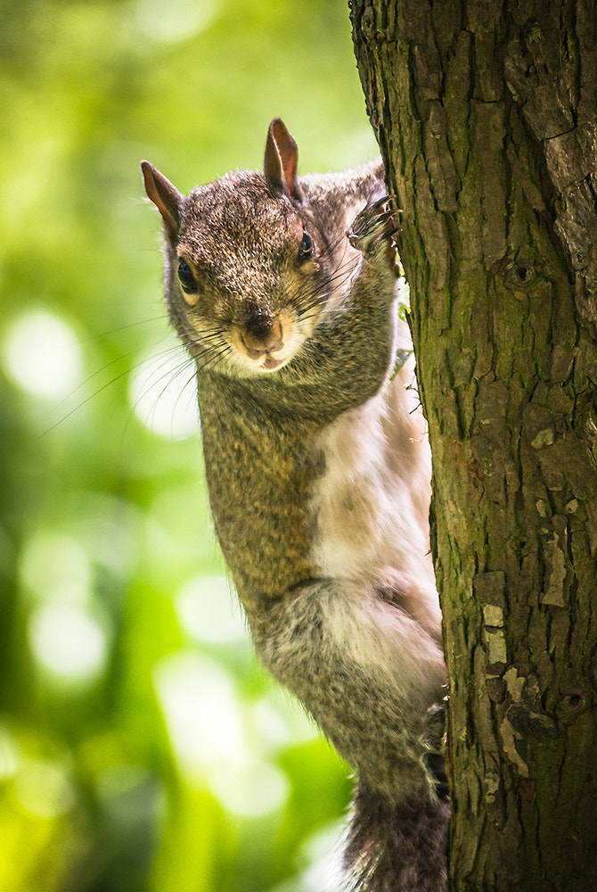 Photograph Peeping Squirrel by Andy Butler on 500px