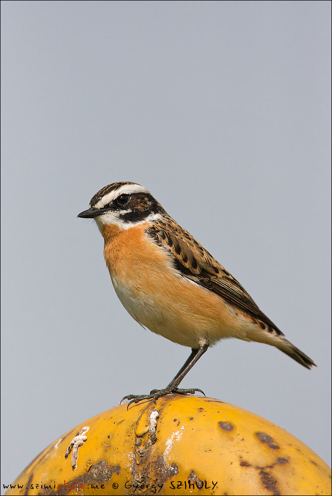 Photograph Whinchat (Saxicola rubetra) by Gyorgy Szimuly on 500px