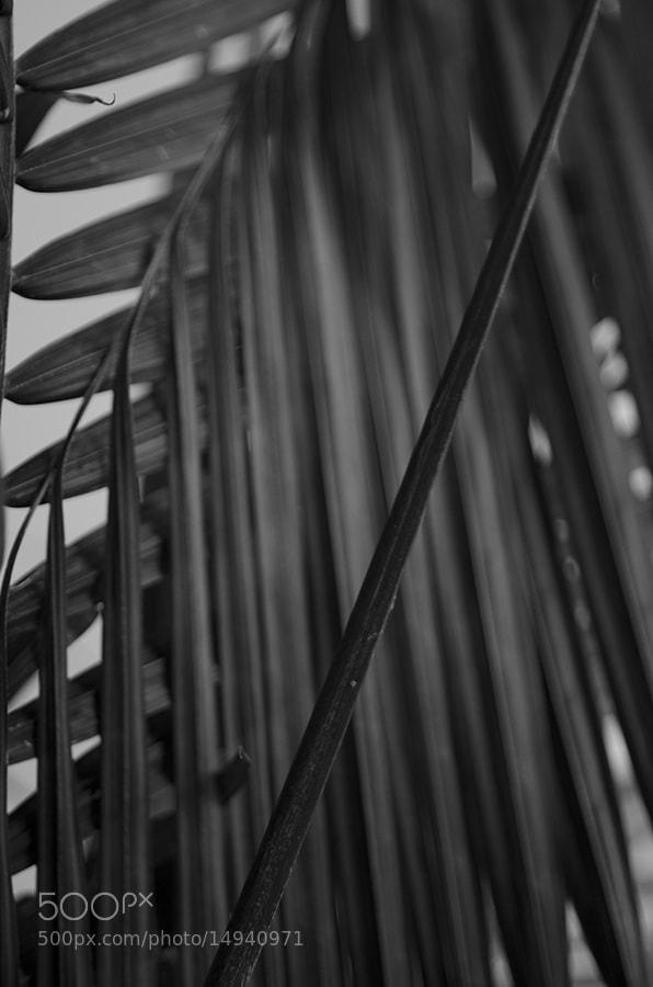 Photograph Royal Palm by Samantha LaRue on 500px