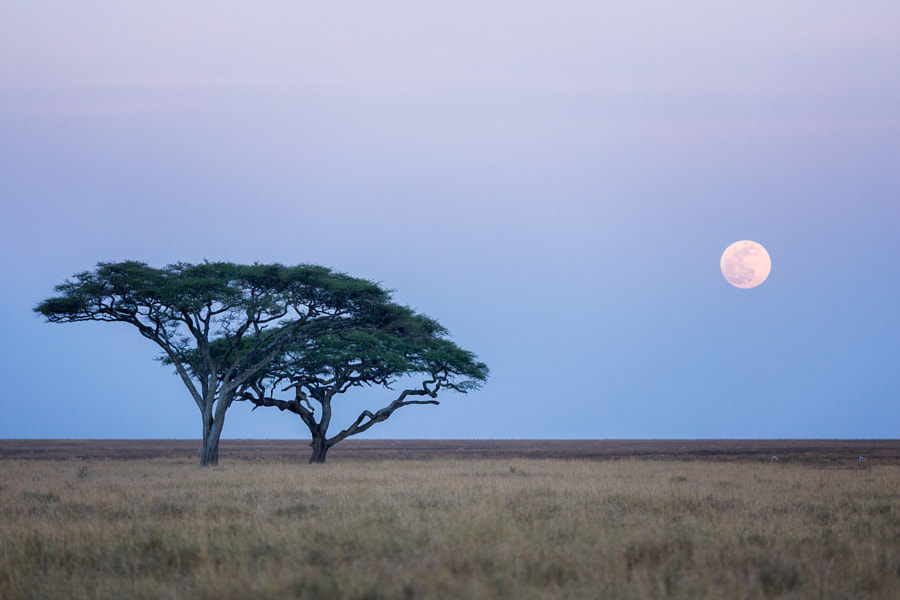 Acacia trees and the Moon - Serengeti by Daniel Nahabedian on 500px.com