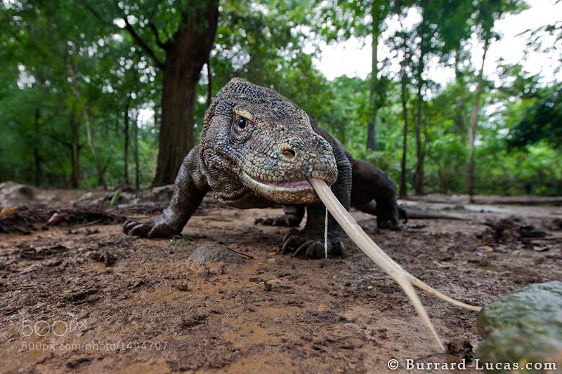 """A curious Komodo Dragon on Komodo Island.  - More <a href=""""http://blog.burrard-lucas.com/2011/06/komodo-dragons/"""">Komodo dragon photos</a>"""