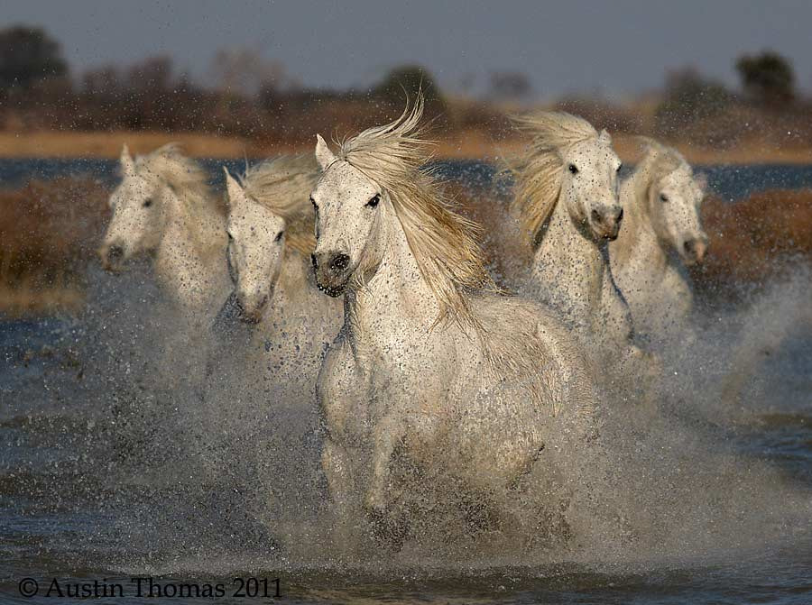 Photograph Galloping White Horses by Austin Thomas on 500px