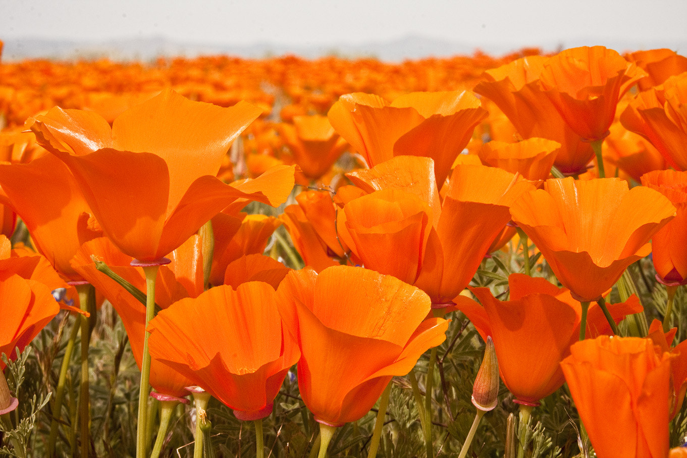 Photograph California Poppy Flowers by Eugene Kardash on 500px