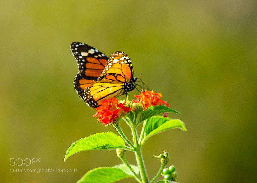 Photograph Butterfly by Vishnu  Prasad on 500px