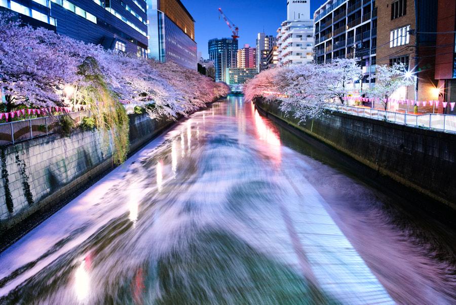 桜(sakura)