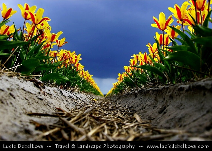 Photograph Netherlands - Field of Yellow/Red Tulips under Dramatic Stormy Sky by Lucie Debelkova -  Travel Photography - www.luciedebelkova.com on 500px