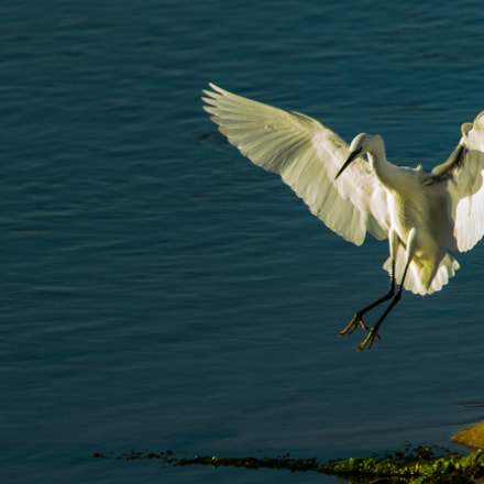 coming in to land, Nikon D4, Tamron SP AF 150-600mm f/5-6.3 VC USD (A011)