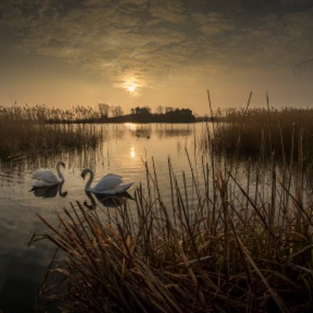 Willen Swans