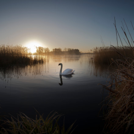 Swan at Sunrise