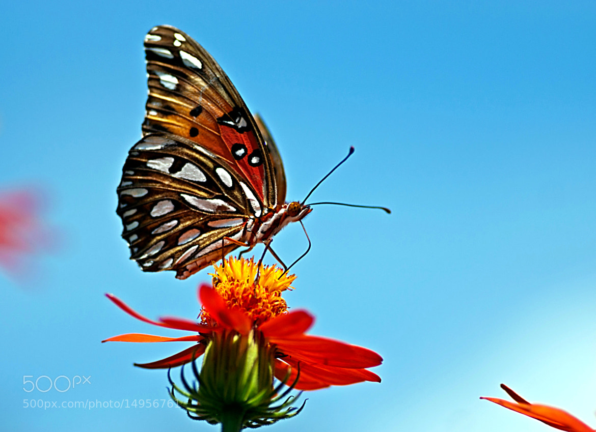 Photograph Butterfly-4 by Shalabh Sharma on 500px