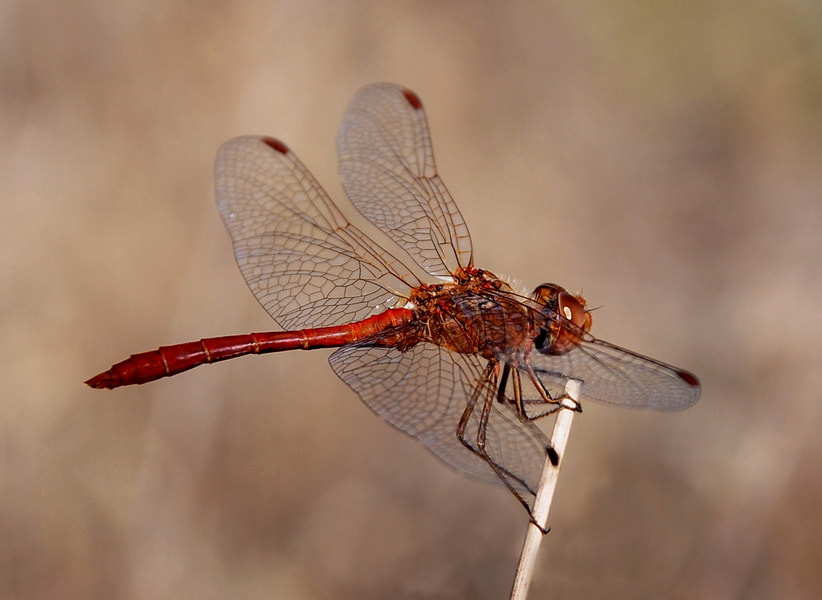 Photograph dragonfly by tugba kiper on 500px