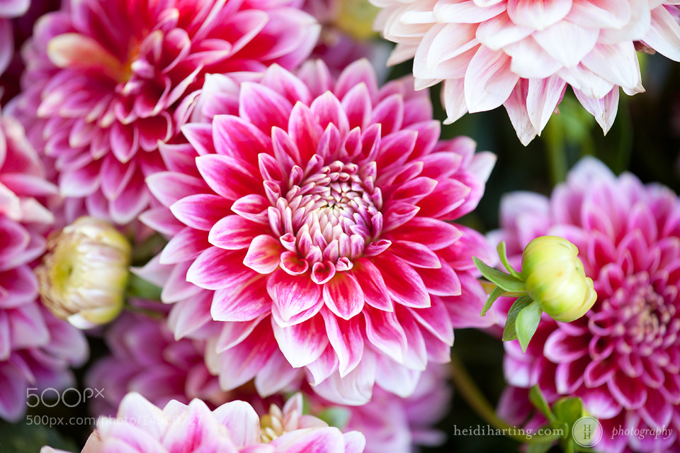 Photograph dahlia by heidi harting on 500px