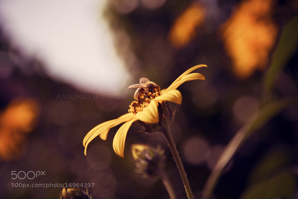 Photograph Bee by Antonio Janeski on 500px