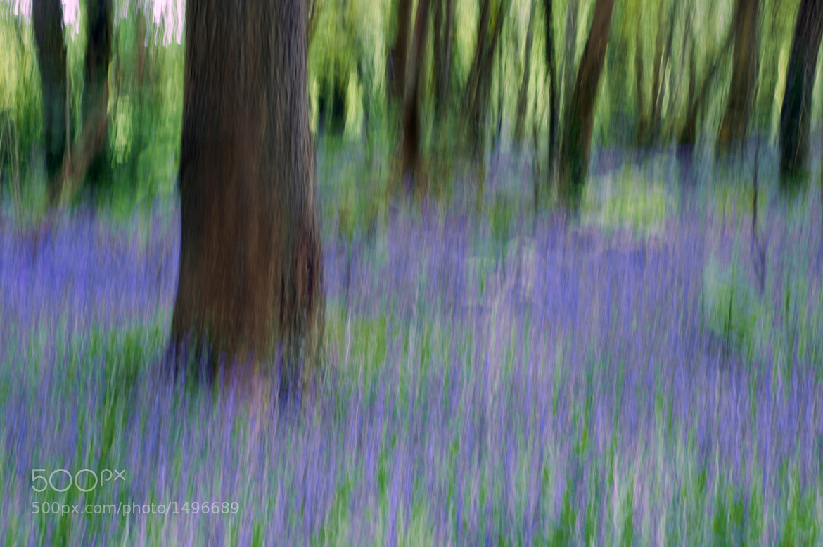 Photograph Bluebell Wood by David Carvey on 500px