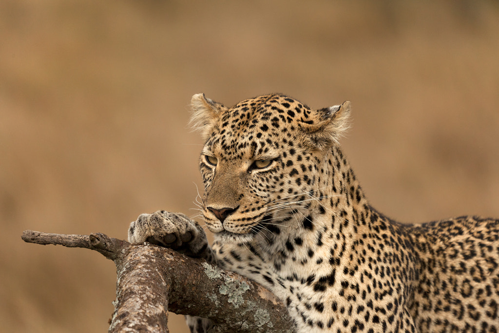 Photograph Calm, composed leopard... by Rohit Varma on 500px