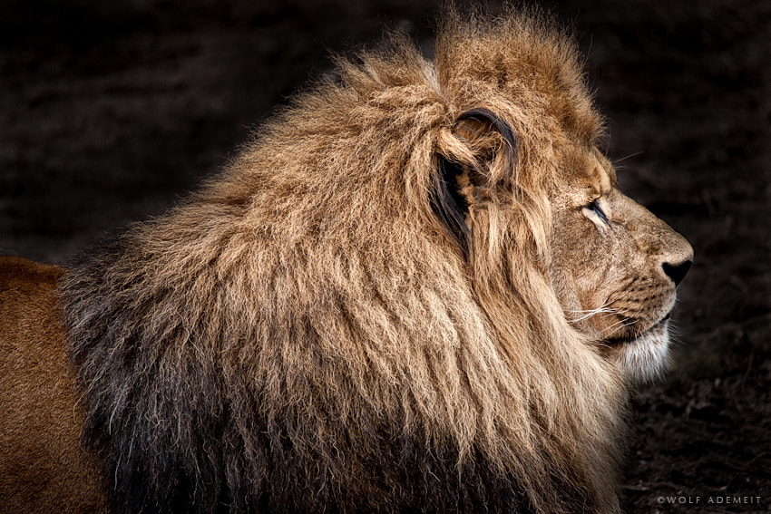Photograph LIONS MANE by Wolf Ademeit on 500px