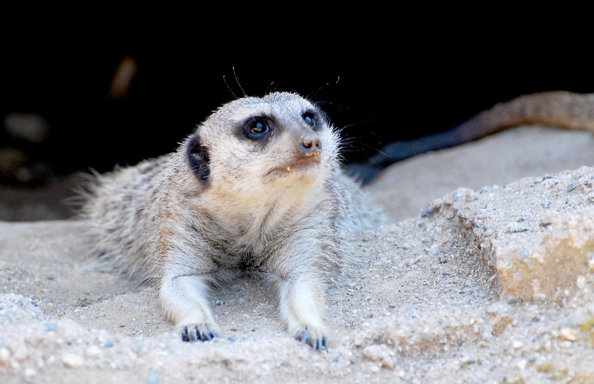 Photograph Meerkat says please by Bryan Huang on 500px